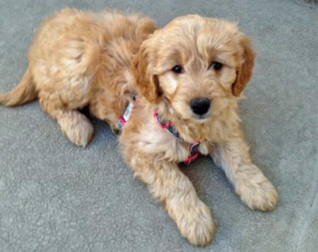 Juno the Goldendoodle Pictures 973101