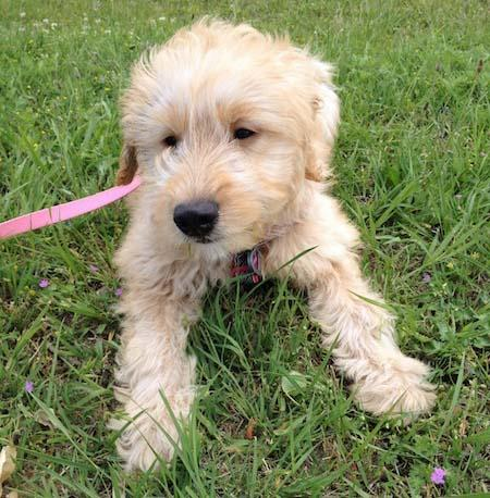 Juno the Goldendoodle Pictures 973105