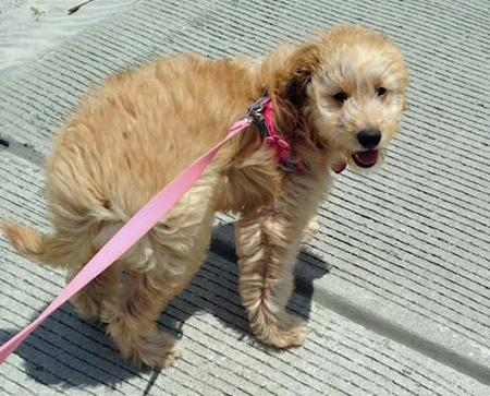 Juno the Goldendoodle Pictures 973106