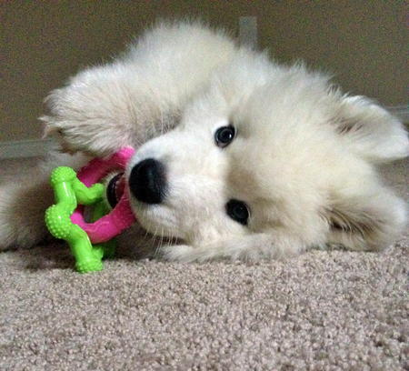 Kai the Samoyed Pictures 1041574