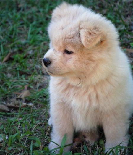 Kamikaze the Akita Mix | Puppies | Daily Puppy