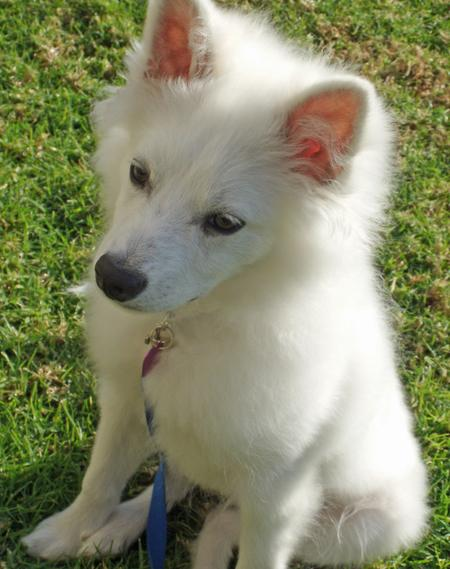 Kanu the American Eskimo Dog Pictures 858276