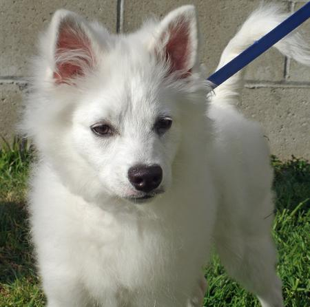 Kanu the American Eskimo Dog Pictures 858277