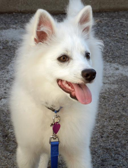 Kanu the American Eskimo Dog Pictures 858279