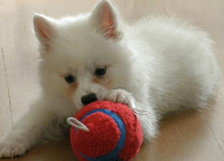 Kanu the American Eskimo Dog Pictures 858274