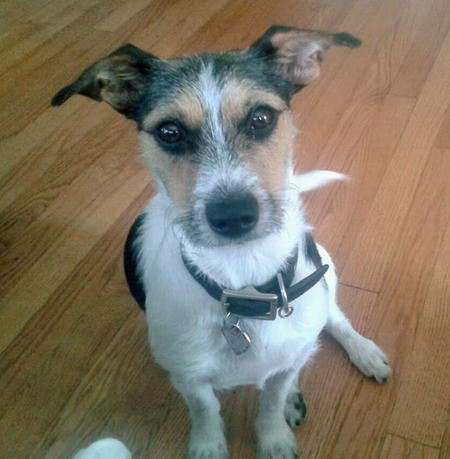 Kari the Jack Russell Terrier Pictures 946451