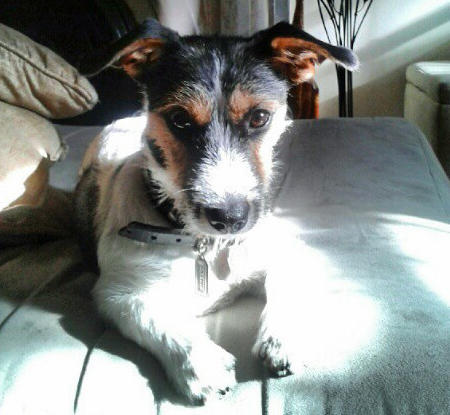 Kari the Jack Russell Terrier Pictures 946446