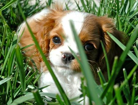 Kate the Cavalier King Charles Spaniel Pictures 793563