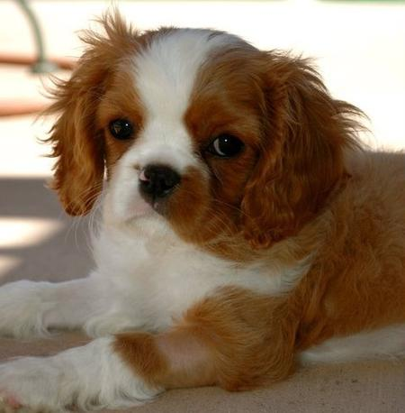 Kate the Cavalier King Charles Spaniel Pictures 793564
