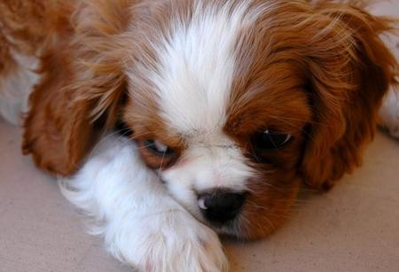 Kate the Cavalier King Charles Spaniel Pictures 793565