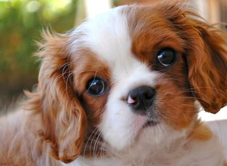 Kate the Cavalier King Charles Spaniel Pictures 793566