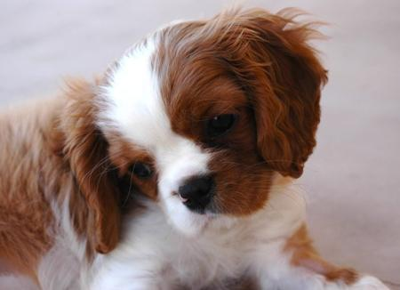 Kate the Cavalier King Charles Spaniel Pictures 793567