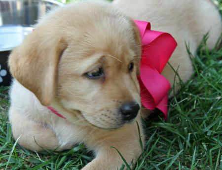 Kayla the Labrador Retriever Pictures 649064