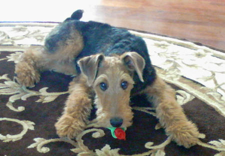 Kaylar the Airedale Terrier Pictures 1025820