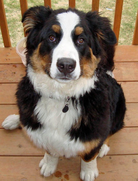 Kaylie the Bernese Mountain Dog Pictures 412783