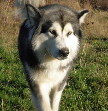 Kayuh the Alaskan Malamute Pictures 638892