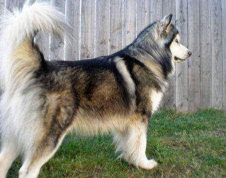 Kayuh the Alaskan Malamute Pictures 638893