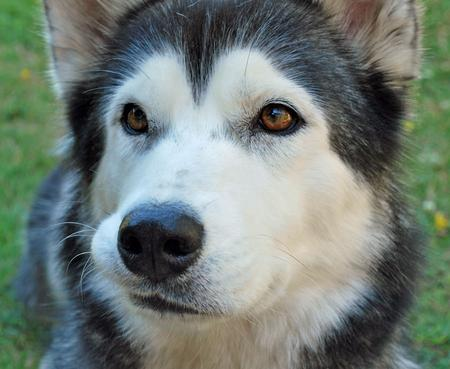Keisha the Siberian Husky Pictures 874933