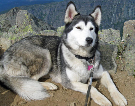 Keisha the Siberian Husky Pictures 874934