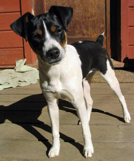 ... Go Back > Gallery For > Chihuahua Italian Greyhound Jack Russell Mix