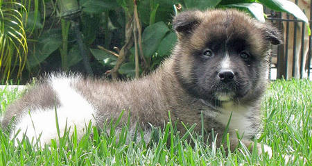 Kenji the Akita Pictures 620672