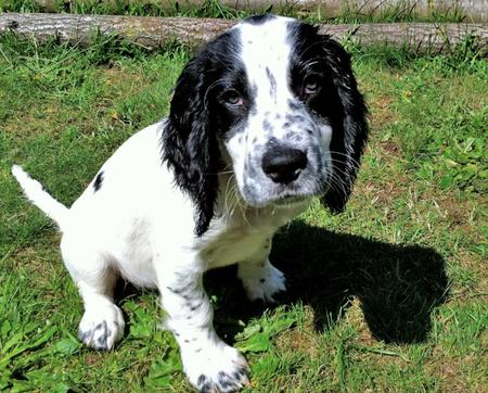 Kenny the Spaniel Mix Pictures 810863