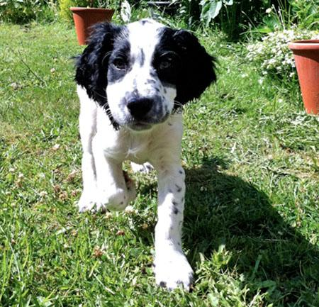 Kenny the Spaniel Mix Pictures 810864