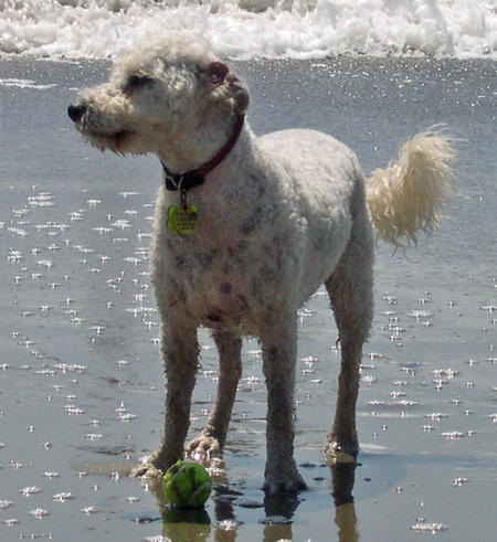 Kermit the Poodle Mix Pictures 813347