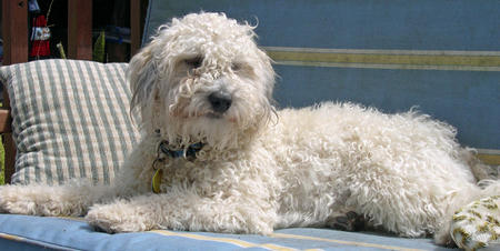 Kermit the Poodle Mix Pictures 813343