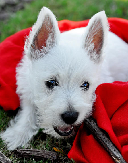 Kevin Bacon the West Highland Terrier Pictures 845484