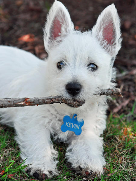 Kevin Bacon the West Highland Terrier Pictures 845485