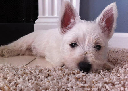 Kevin Bacon the West Highland Terrier Pictures 845488