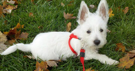 Kevin Bacon the West Highland Terrier Pictures 845489