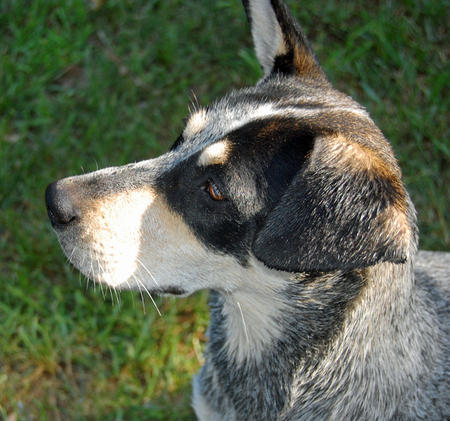 Kiah the Australian Cattle Dog Pictures 622004