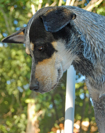 Kiah the Australian Cattle Dog Pictures 622002