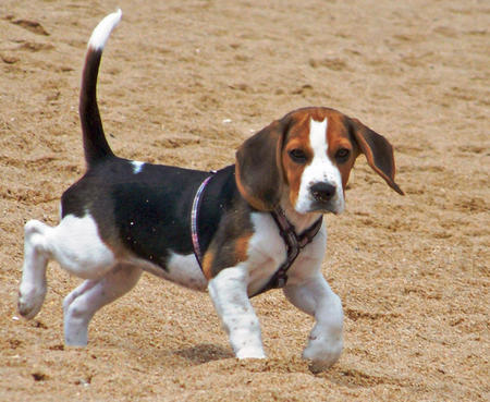 Kiara the Beagle Pictures 869902