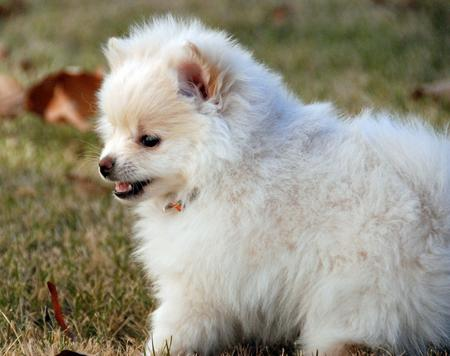 Kiki the Pomeranian Pictures 863835