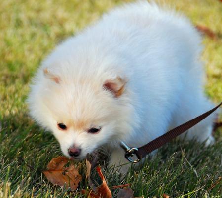 Kiki the Pomeranian Pictures 863838