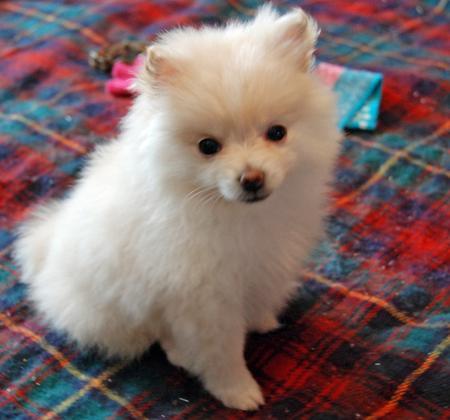 Kiki the Pomeranian Pictures 863839