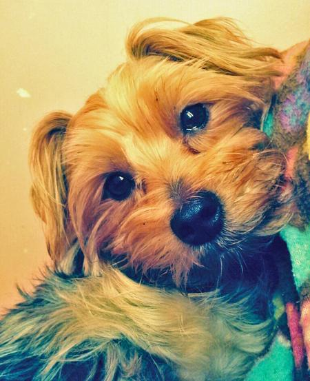 Kilo the Yorkshire Terrier Pictures 954259