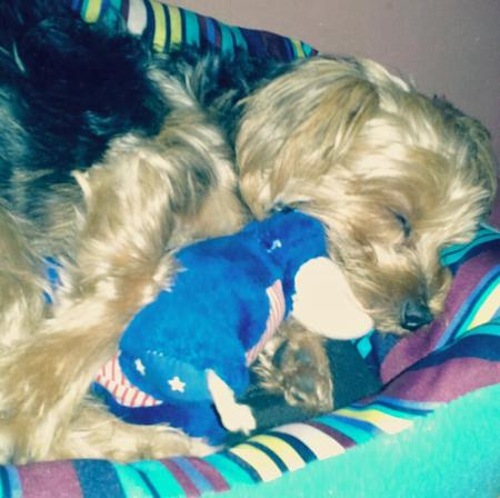 Kilo the Yorkshire Terrier Pictures 954260