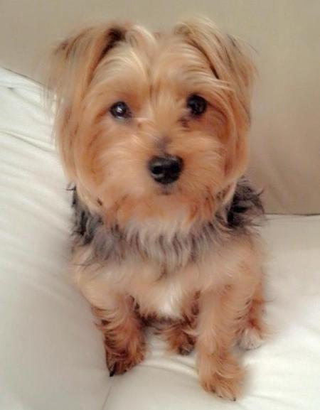 Kilo the Yorkshire Terrier Pictures 954257
