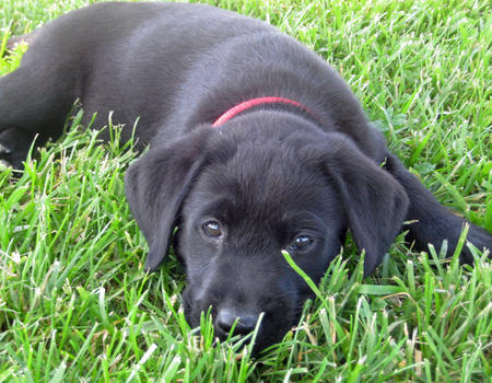 Kimber the Labrador Retriever Pictures 567203
