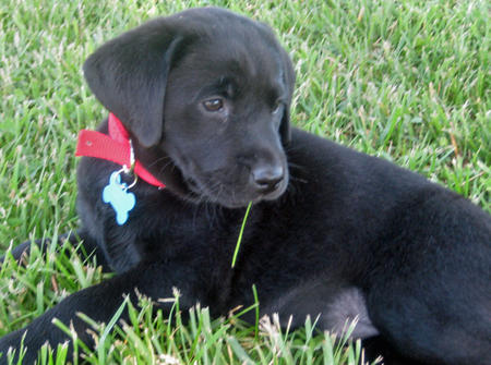Kimber the Labrador Retriever Pictures 567204