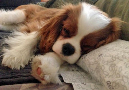 Kingston the Cavalier King Charles Spaniel Pictures 1018194