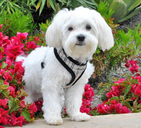 Kingston the Maltese Pictures 808259