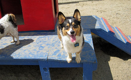 Kipper the Corgi Pictures 833910