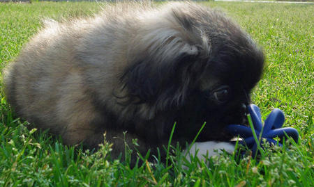Kippernicus the Pekingese Pictures 796167