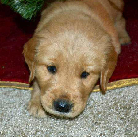 Kirby the Golden Retriever Pictures 882573