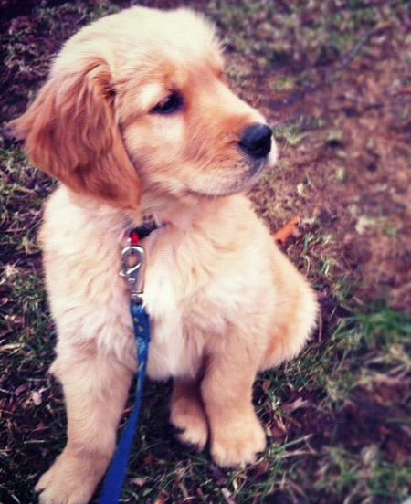 Kirby the Golden Retriever Pictures 882569
